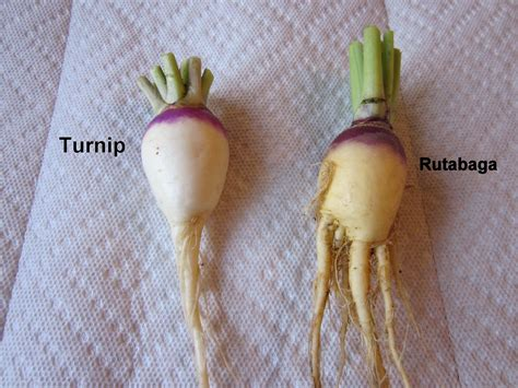 rutabaga vs turnip how to grow turnips and rutabagas charismatic planet