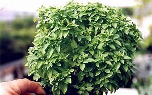 Basilikum Im Topf Pflege : griechisches buschbasilikum pflanze ocimum basilicum v minimum basilikum babantsi ~ Orissabook.com Haus und Dekorationen