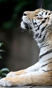 Siberian Tiger 5k, HD Animals, 4k Wallpapers, Images ...