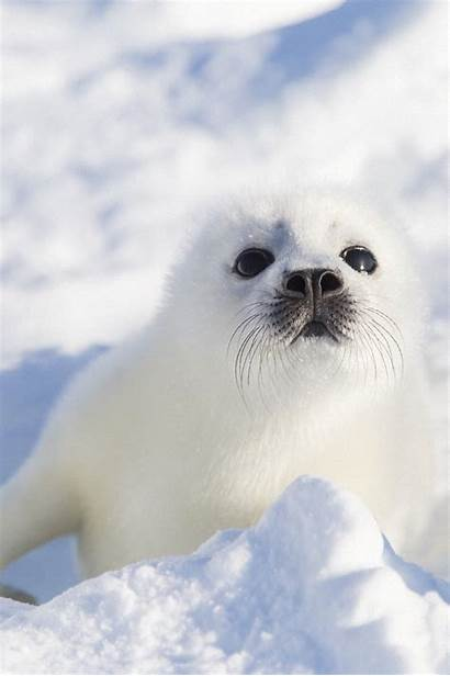Seal Animal Seals Animals Harp Fur Wallpapers