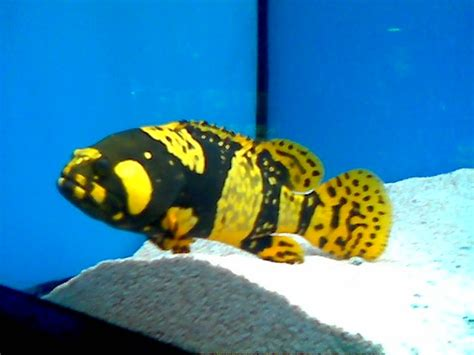 grouper bumblebee freshwater fish pretty interesting found lfs saltwaterfish there forums saw thought him