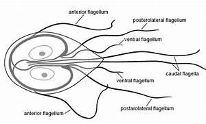 Giardia Diagram  Medical  Medical Problems  Parasites