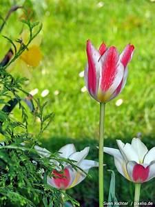 Tulpen Im Garten : tulpen pflege pflanzen d ngen schnitt ~ A.2002-acura-tl-radio.info Haus und Dekorationen