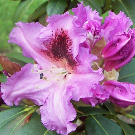 rhododendron planting tips top 28 rhododendron growing rhododendron care tips on how to grow a rhododendron bush