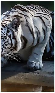 White Tiger Abstract Wallpapers, HD Wallpaper Downloads ...