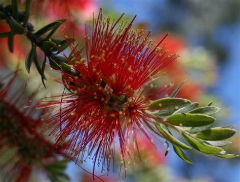 fiori di bush fiori australiani bush maggiori informazioni heliantus