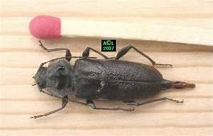 Insecte Qui Mange Le Bois : le capricorne des maisons hylotrupes bajulus biologie ~ Farleysfitness.com Idées de Décoration