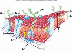 Cell Membrane Structure Diagram