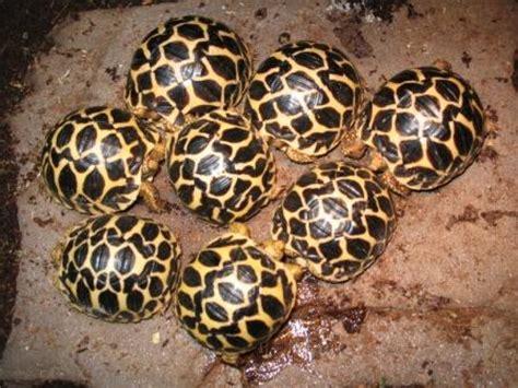 Hue Len Waar Te Koop by Reptielenforum Onderwerp Stralenschildpad
