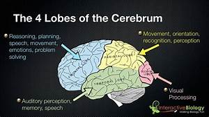 The Cerebrum And Its Functions