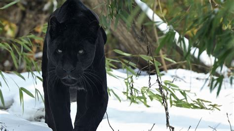 Panther Animal Wallpaper - black panther hd animals 4k wallpapers images