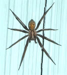 house spider isnt   big eratigena duellica bugguidenet