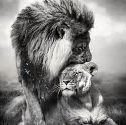 Black Lion and Lioness Love