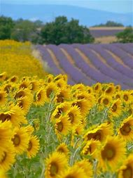 Sunflower and Lavender Field France
