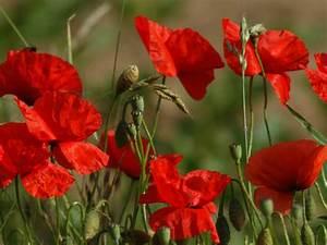 Graines Fleurs Des Champs : coquelicot ou pavot fleur graines plantation et culture ~ Melissatoandfro.com Idées de Décoration