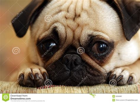 sad pug puppy stock photo image  canine love mouth