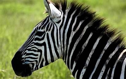 Zebra Computer Wallpapers Desktop