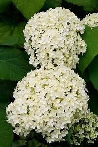 Hortensie Weiß Winterhart : bcm hortensie annabell h he 50 60 cm 1 pflanze online kaufen otto ~ Orissabook.com Haus und Dekorationen