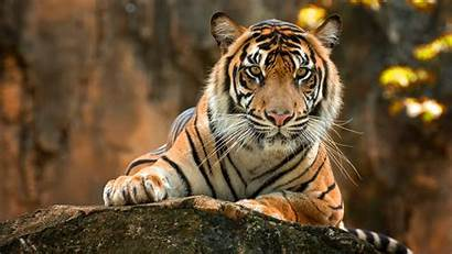 Tiger 4k Wallpapers Animals Paws Backgrounds 2092