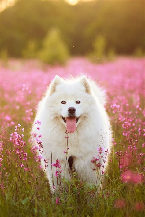 17 Best Images About Samoyeds On Pinterest Pets Puppys