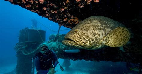 grouper goliath menu galapagos attack height shark fwc season story considers opening