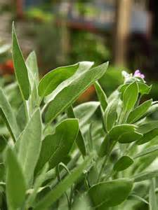 Culinary Sage Plant Herb
