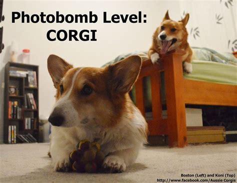 Corgi Memes - 1058 best dwarf hound images on pinterest corgi corgis and pembroke welsh corgi