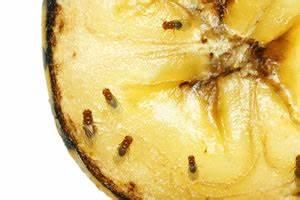 Obstfliegen Bekämpfen Hausmittel : obstfliegen loswerden die besten hausmittel ~ Watch28wear.com Haus und Dekorationen