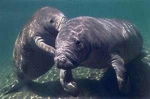 I love men and manatees - stumblingmanatee: Baby manatee ...