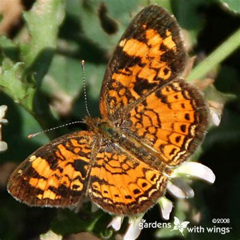 open wing color orange butterflies gardens  wings
