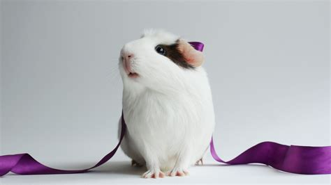 wallpaper hamster cute hamster white close  purple