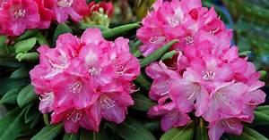 Rhododendron Blüht Nicht : rhododendron das passt dazu mein sch ner garten ~ Frokenaadalensverden.com Haus und Dekorationen