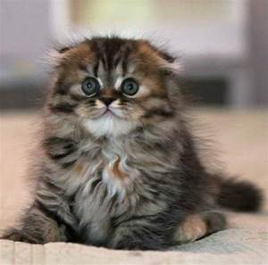 scottish fold munchkin kittens | Cute Cats Pictures ...