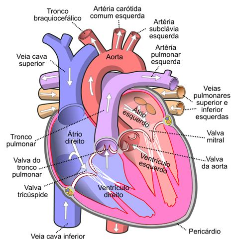 filediagram   human heart cropped ptsvg