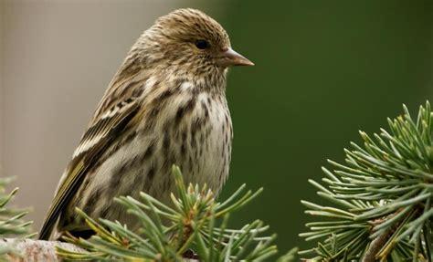 175 warbler calls pine siskin birds pinterest