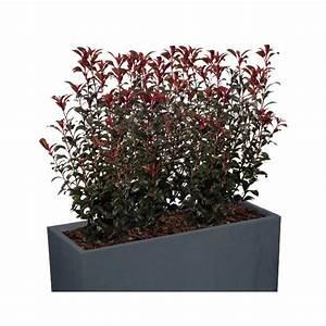 Arbuste Brise Vue : kit brise vue balcon photinia ensemble de poterie ~ Preciouscoupons.com Idées de Décoration