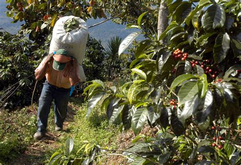 Finca filadelfia la antigua guatemala. Coffee Plantation Guatemala 23 Stock Image - Image of heavy, beans: 5374711