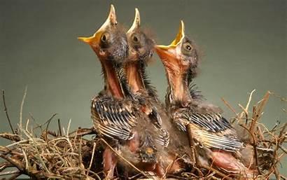 Hungry Birds Nest Feeding Wallpapers Animal Hunger