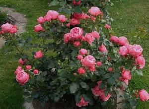 Rosen Schneiden Wann : grundregeln des rosenschnitts rosenparadies loccum ~ Eleganceandgraceweddings.com Haus und Dekorationen