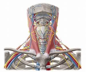 Neurovasculature Of Head  U0026 Neck  Anatomy