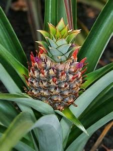 Plant D Ananas : best 25 hawaiian flowers ideas on pinterest flowers beautiful flowers pictures and pretty ~ Melissatoandfro.com Idées de Décoration