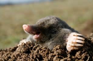how do you get rid of moles 26 february 2013 malcolm redfellow s home service