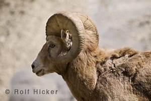 Was Ist Ein Widder : bild dickhornschaf rocky mountains i bildarchiv rolf hicker ~ Eleganceandgraceweddings.com Haus und Dekorationen