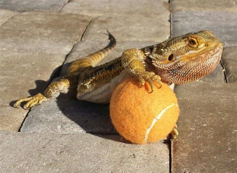 96 best images about all about bearded dragons on