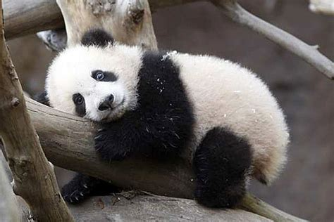 wallpapers cute baby panda pictures