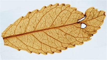 Million Carbon Fossil Leaf