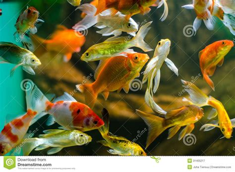 carpe koi en aquarium koi et carpe dans l aquarium photographie stock libre de droits image 31405217