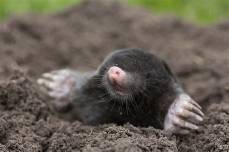 Mole Control in Northwest Arkansas | Natural State Pest ...