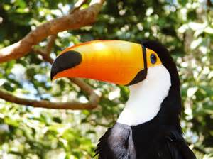South America Rainforest Animals Toucans