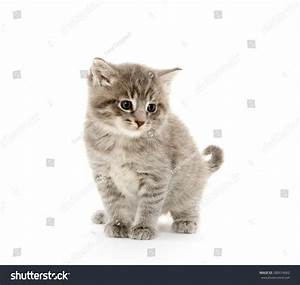 Cute Gray Baby Tabby Kitten Isolated On White Background ...